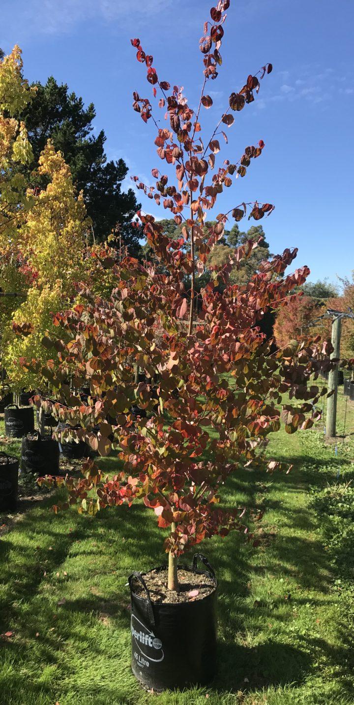 Katsura tree 45 ltr